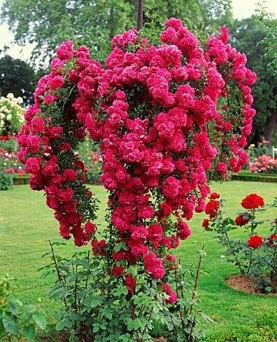 pienna róża