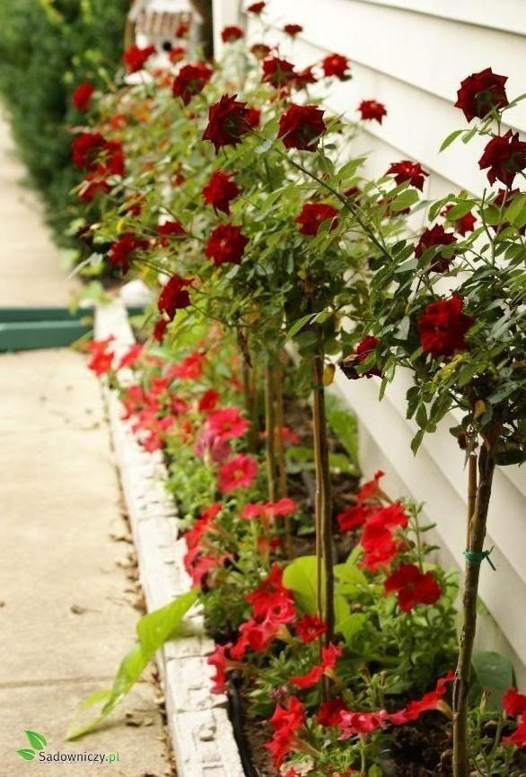 róża szczepiona na pniu