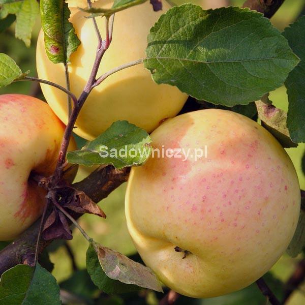 jabłoń kronselka