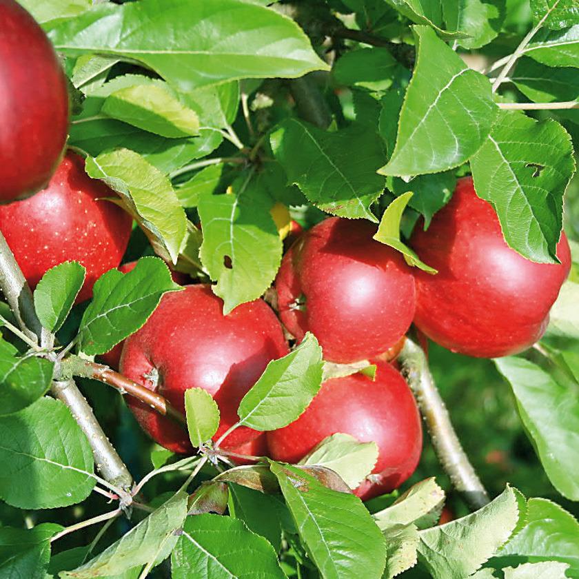 Jabłoń santana