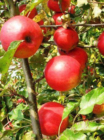 jabłoń Jonatan