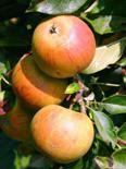 Jabłoń Koksa Pomarańczowa