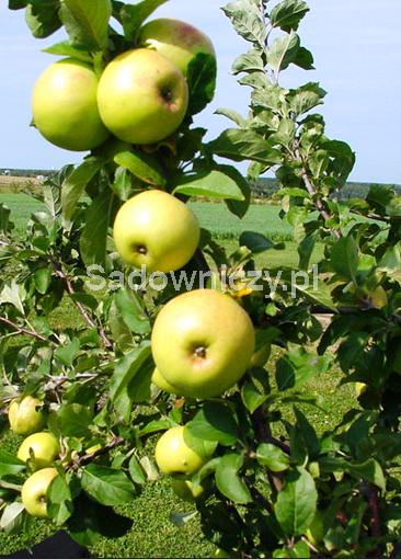 Stare odmiany - Jabłoń Antonówka