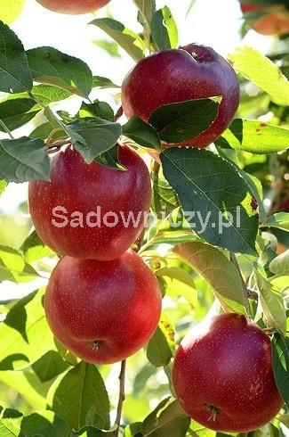 Jabłoń Geneva Early