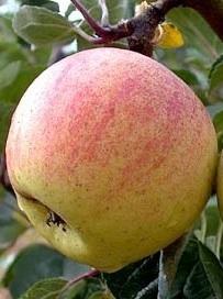 Stare odmiany - Jabłoń Grochówka