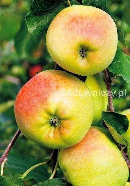 Stare odmiany - Jabłoń Kronselka