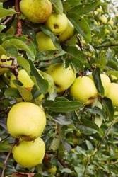 Stare odmiany - Jabłoń Kosztela